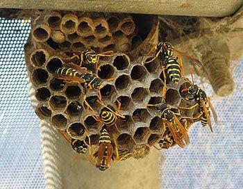 Paper Wasp nest   anam...
