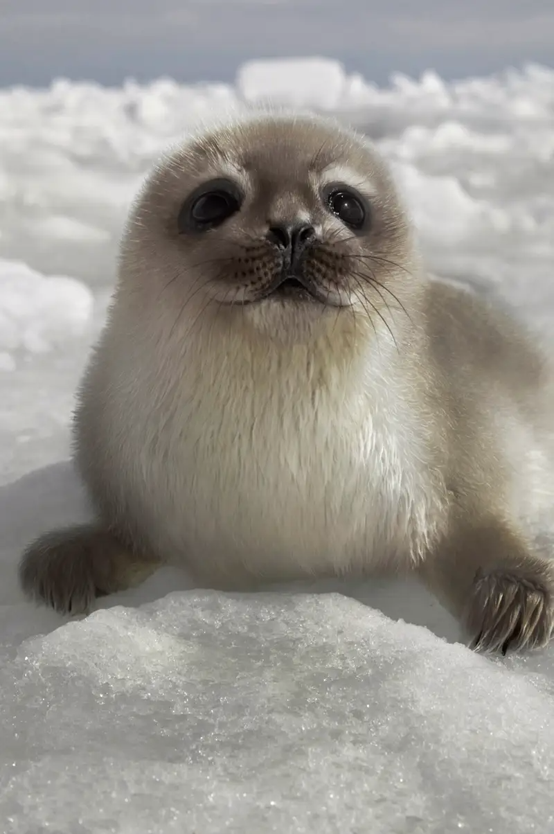 As the Arctic warms and natural habitats are transformed by human activity, strange new hybrid animals are starting to wander the earth. This is a harbor-ringed seal pup hybrid. The hybrid is mostly white, with some of the hooded seal pup's coloration.