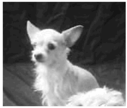 Lost Dog Amery Wi Chihuahua Short Haired Female Medical Date Lost 11 06 2019 Dog S Name Lilly Lil Bit Breed Of Dog Chihuahu Losing A Dog Dog Ages Dogs