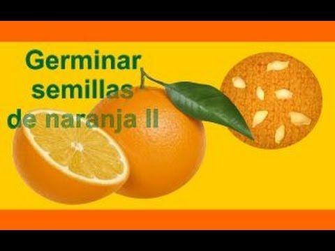 Cómo sembrar y germinar semillas de naranja II - YouTube