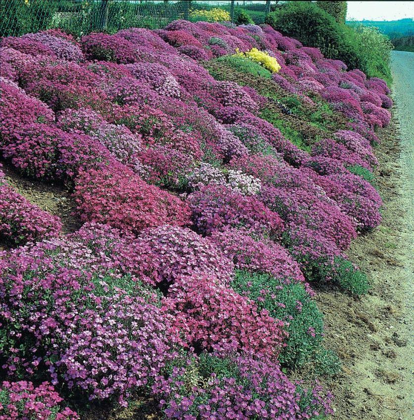 Piante perenni per giardino roccioso for Cespugli fioriti per giardino