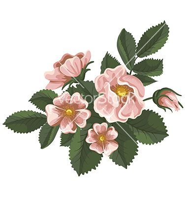 Wild rose vector 1086575 - by Pazhyna on VectorStock®