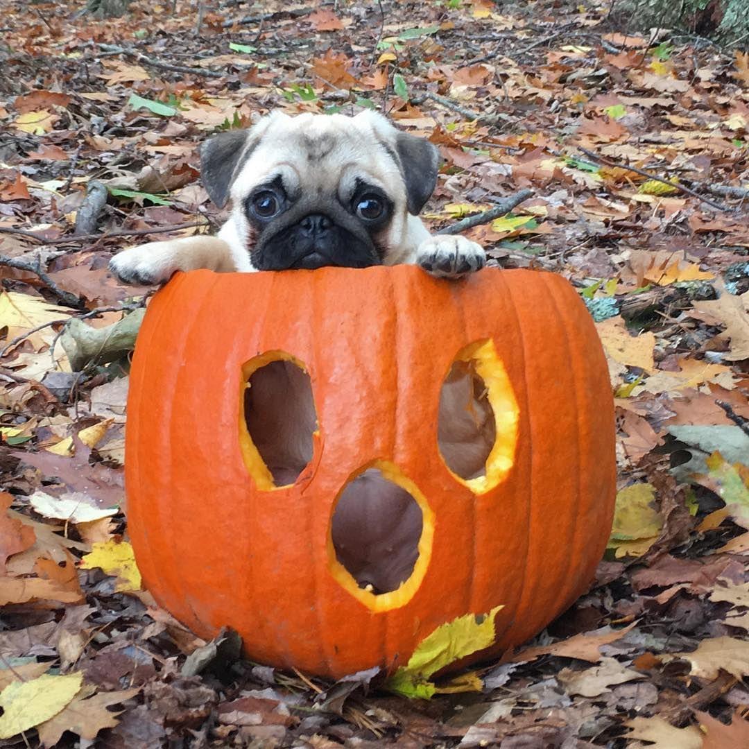 Pugs On Instagram Cutest Halloween Costume Cute Pugs