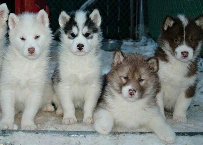 Arcticice Qimmiq Canadian Eskimo Dogs Alaskan Malamutes