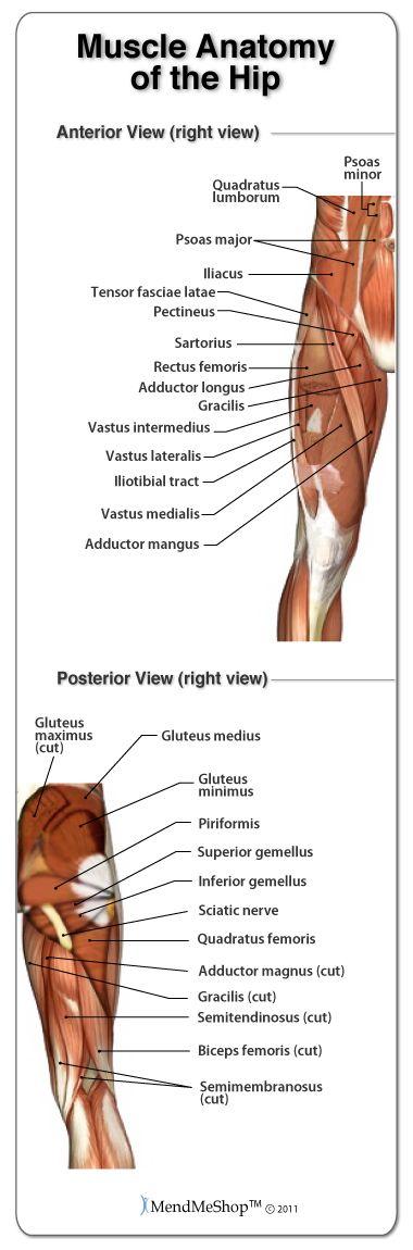 Muscle Anatomy Of The Hip Hipanatomy Anatomy Pinterest