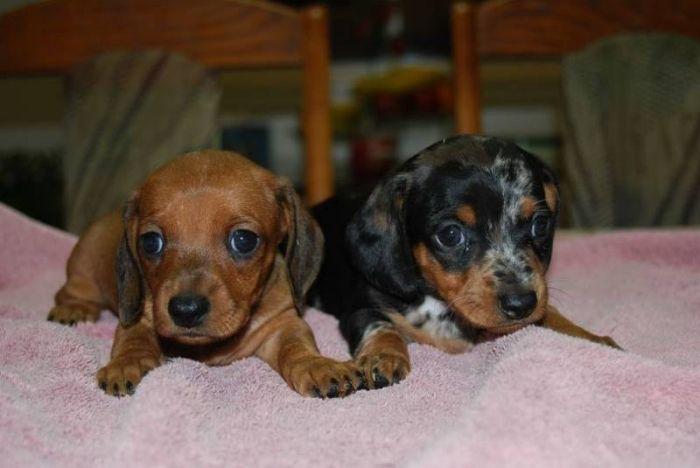 Miniature Dachshund Puppies For Smooth Short Haired