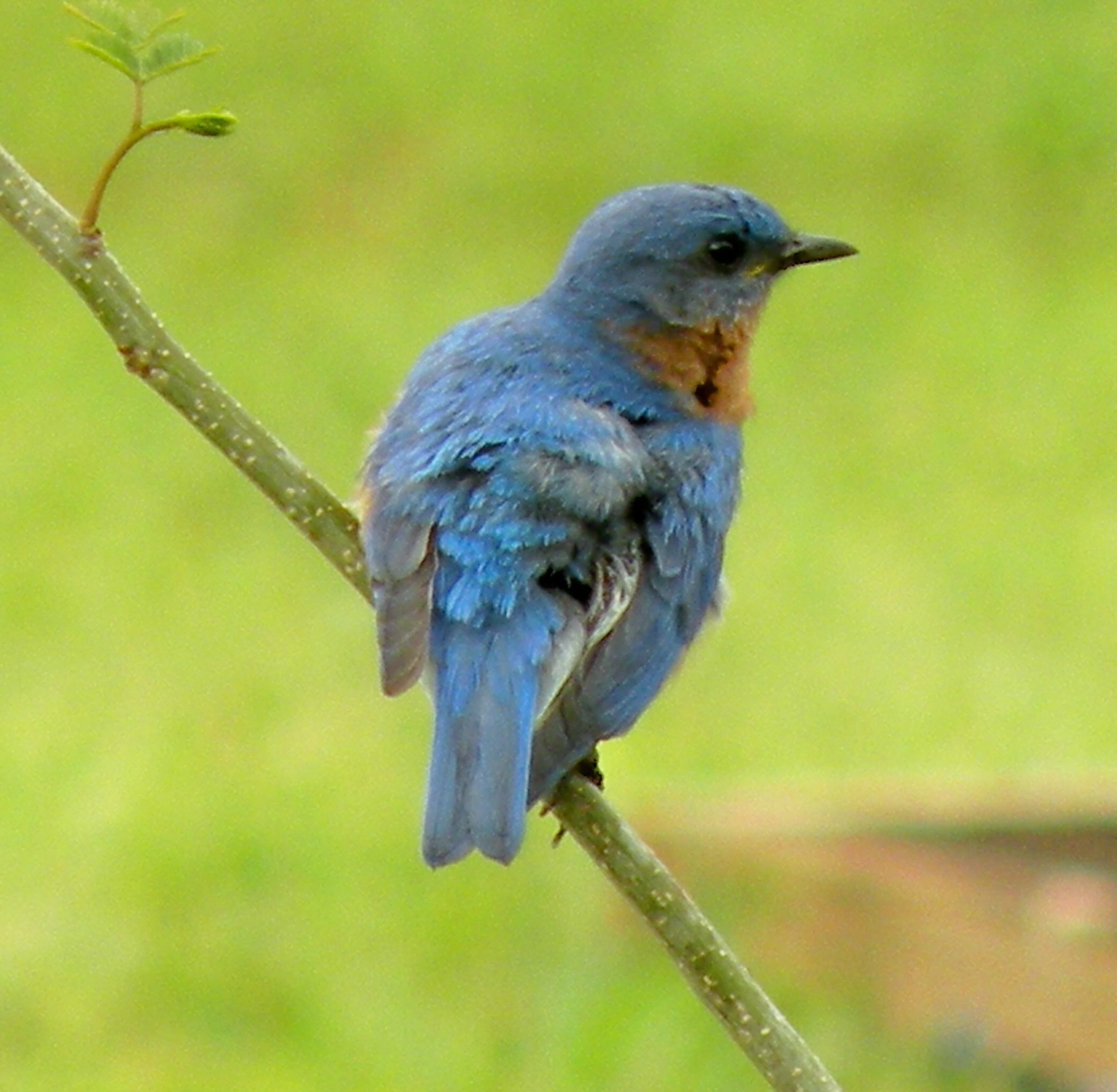 Etonnant Photos Of Bluebirds, Bluebird Nests And Baby Bluebirds Included. Tips On Attracting  Bluebirds To Your Backyard.