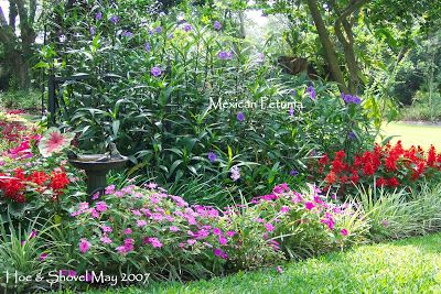 Before And After Mexican Petunia Petunias Low Maintenance Landscaping Front Yard Backyard Flowers Beds
