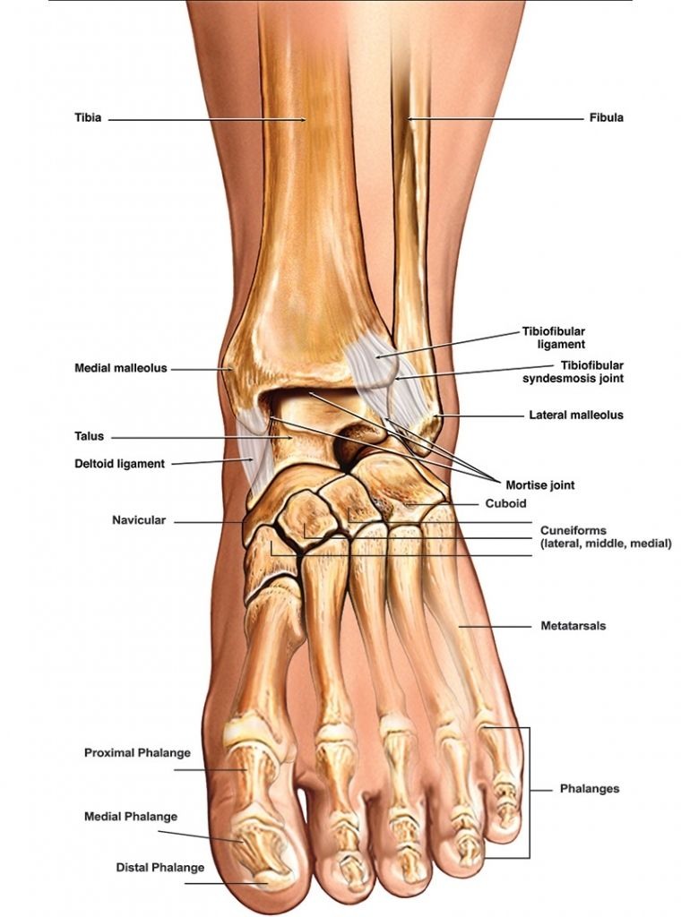 Anatomy Of Foot Ankle Anatomy Of The Foot Amp Ankle Total Ankle ...