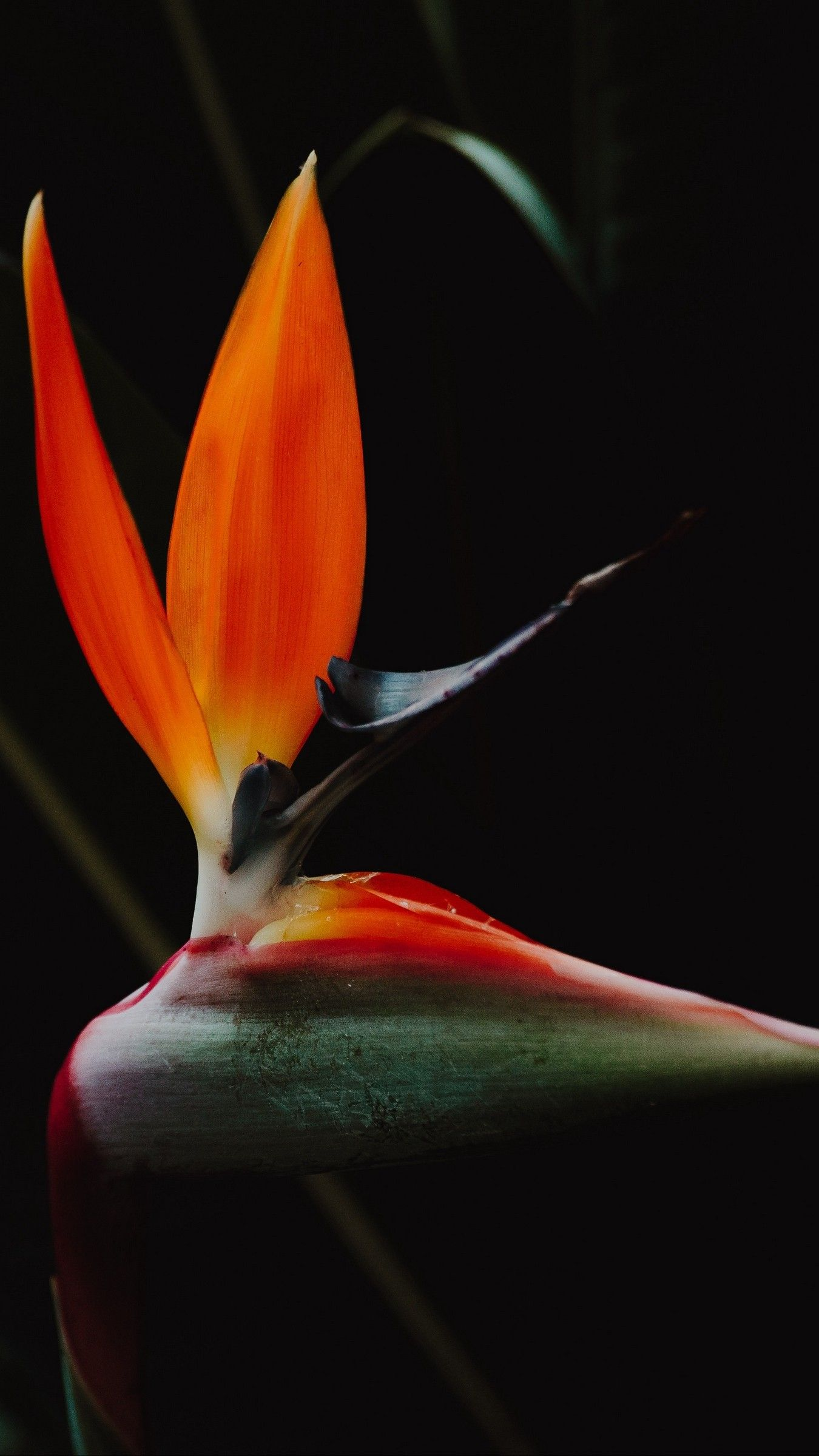 Awesome Bird Of Paradise Wallpaper Iphone 5