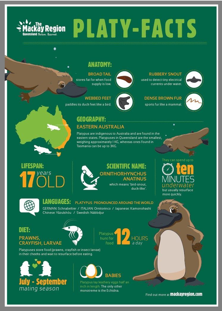 What You Need To Know About Finding Platypus In Eungella National Park Platypus Animal Infographic Australian Animals