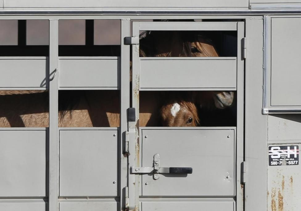 Wild horses taking one last look at their home as they are
