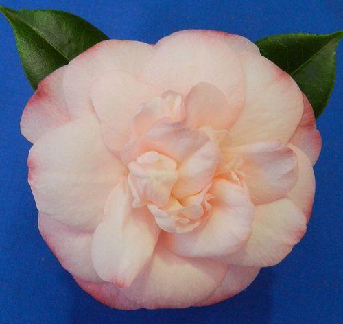 C.japonica 'Mini Pink'