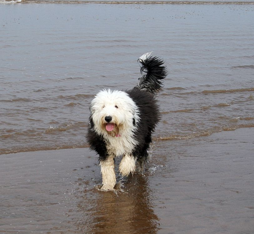 Home Haverlands Old English Sheepdogs Old English Sheepdog