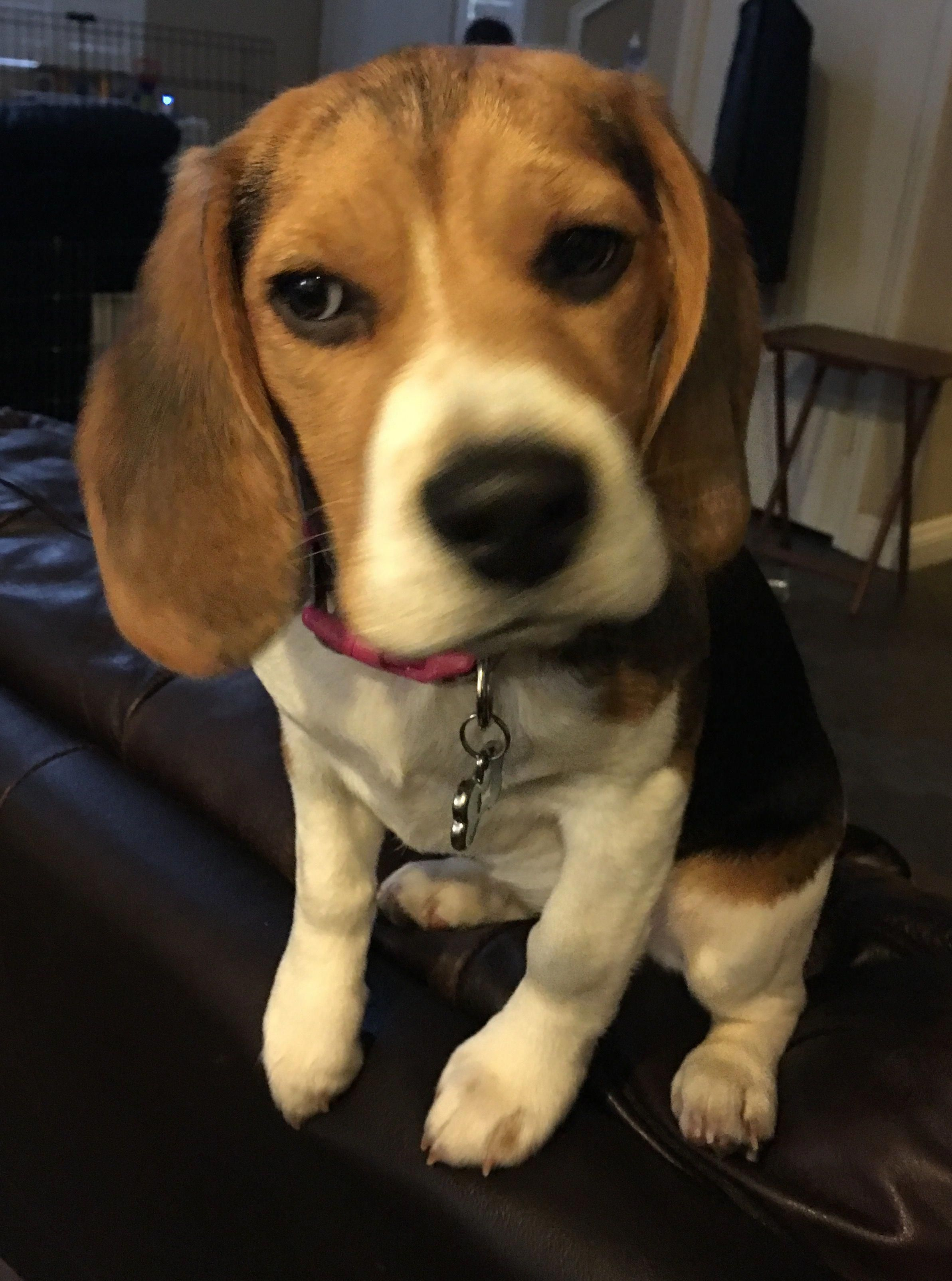 Beagle Puppy Beaglepuppies Beagle Puppy Beagle Cute Dogs