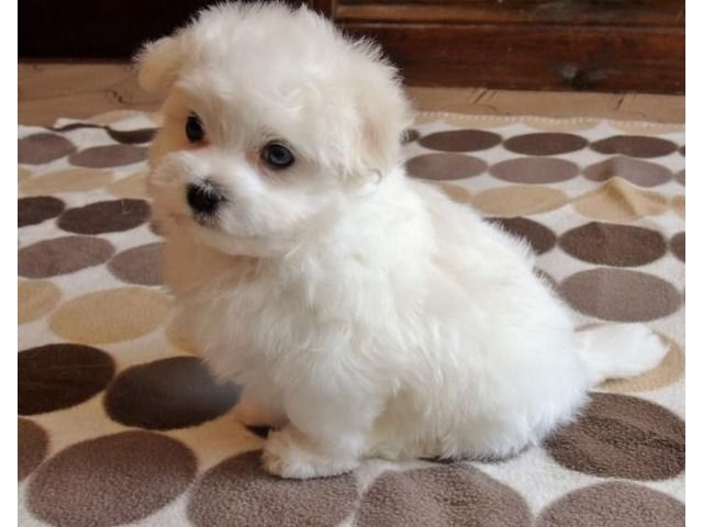 Tiny Teacup Maltese Puppies For Adoption Teacup Puppies Maltese