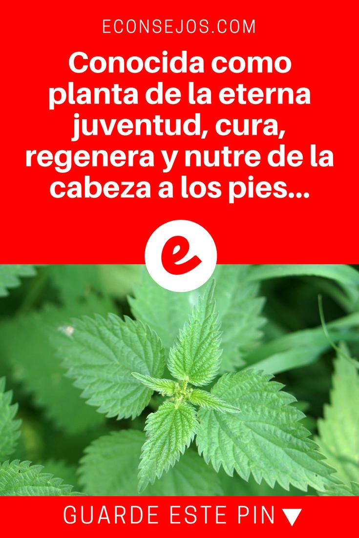 Conocida Como Planta De La Eterna Juventud Cura Regenera Y Nutre Nutren Diabetes Ortiga Beneficios