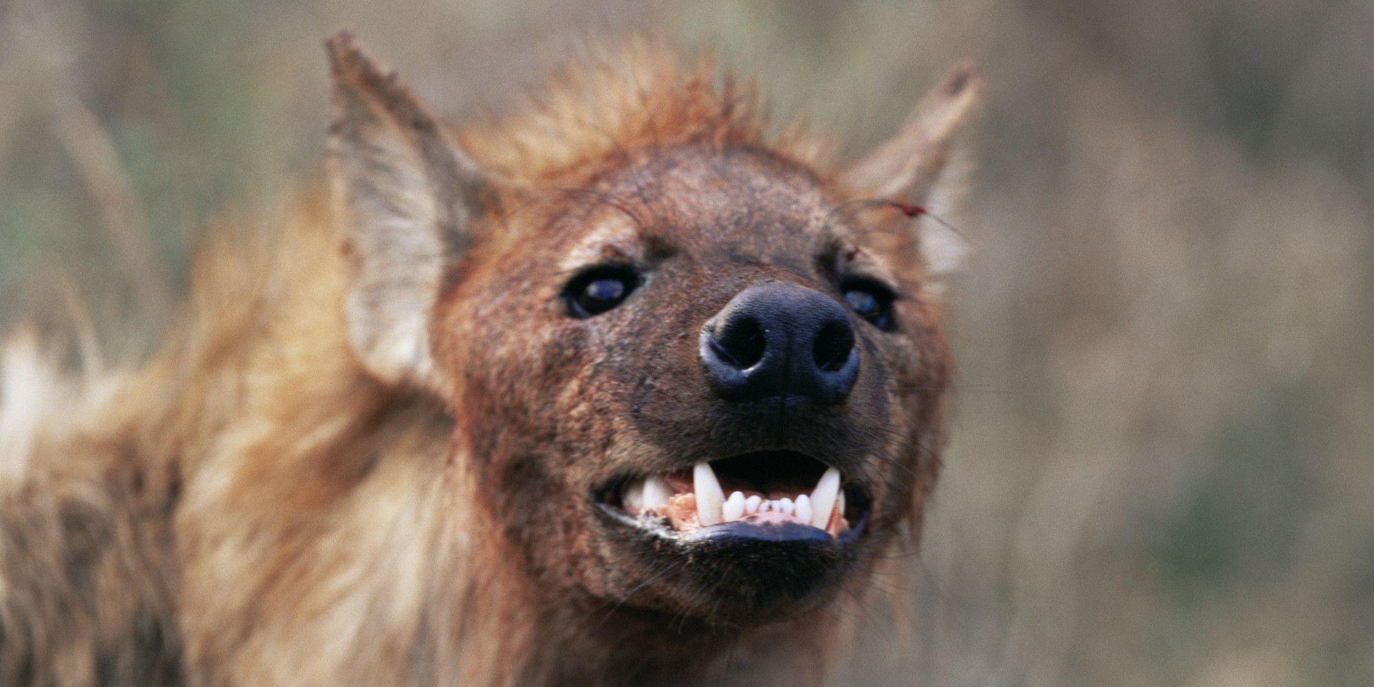 hyena Google Search Hyena, Animals funn