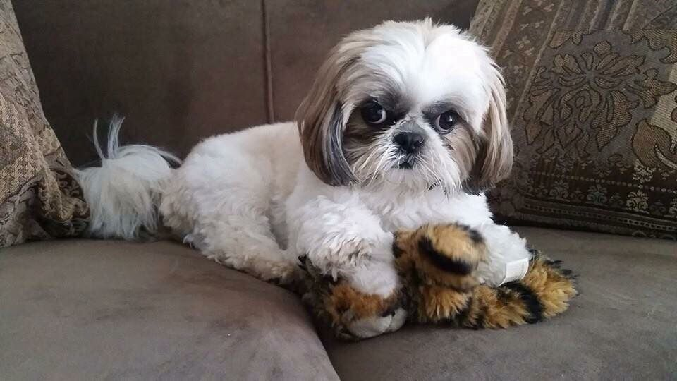 shih tzu don t don t take my lion shih tzu hundar 6503