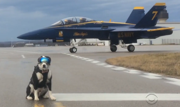 Meet Piper A Dog Helping Protect Planes From Bird Strikes With Images Bird Strike Dog Help Dogs