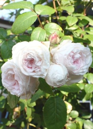 Polyantha Rose 'Clotilde Soupert'