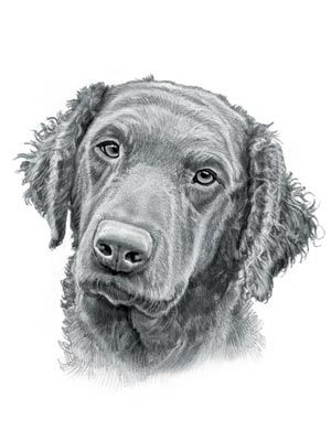 Curly Coated Retriever Dog With Images Curly Coated Retriever