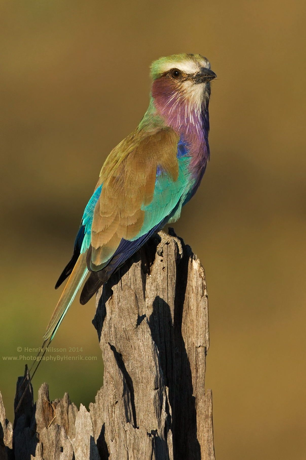 Lilac Breasted Roller by Henrik Nilsson on 500px