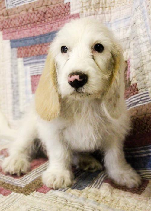 Adopt Ensel On Basset Hound Mix Poodle Retriever Puppy