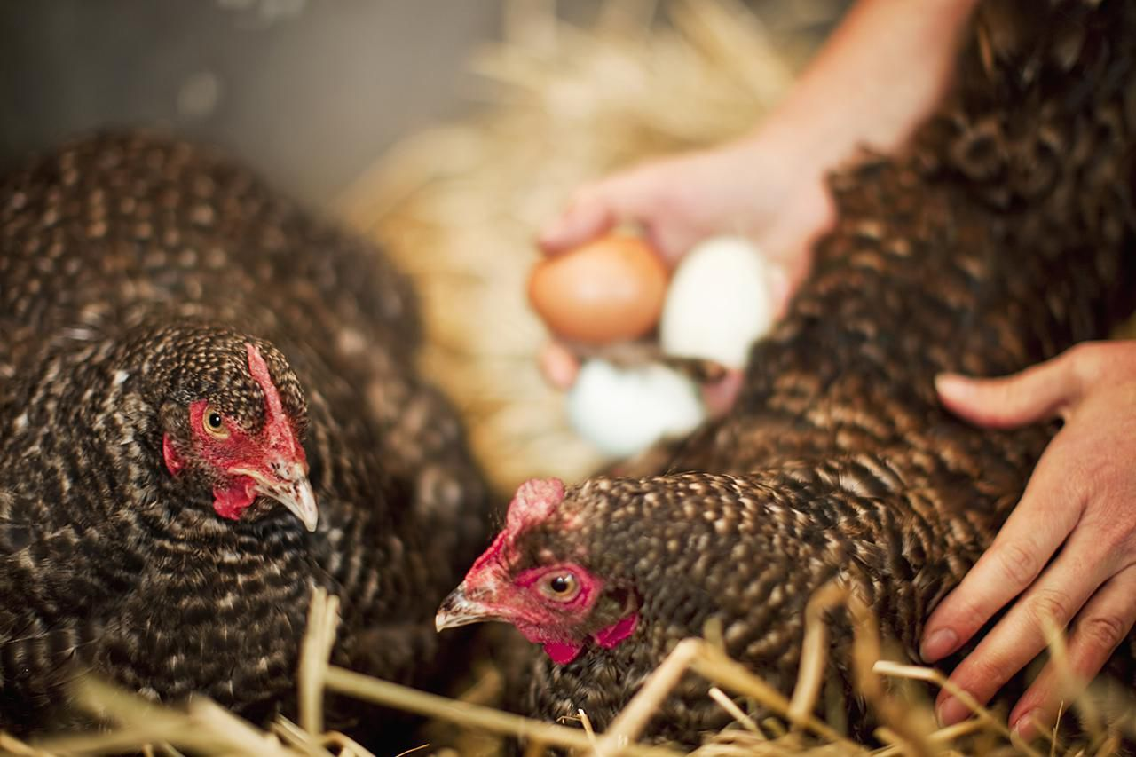 Start Selling Your Chicken Eggs! Here's How Chicken