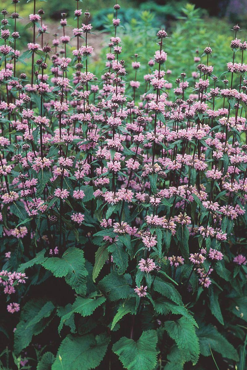 sauge de j rusalem 39 amazone 39 phlomis tuberosa fleurs verdures gramin es pinterest. Black Bedroom Furniture Sets. Home Design Ideas