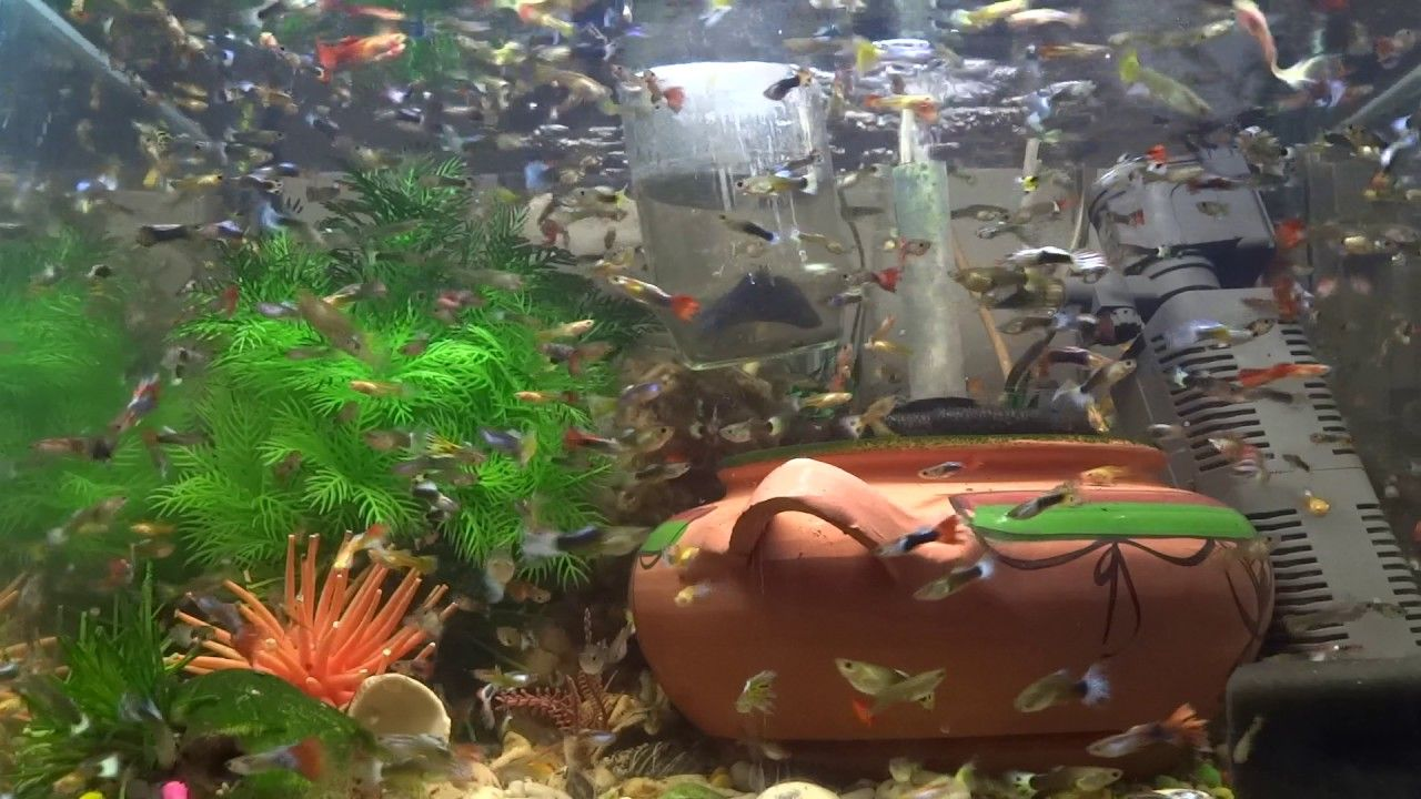 My 1 Million Guppies Fish Aquarium Tank The Best Of Guppy Collection