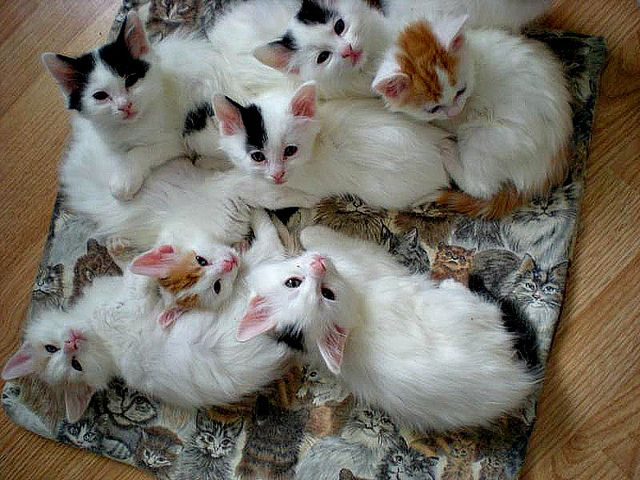 87a7eff5c4 Feline 101  Turkish Van Kittens