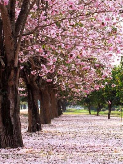 Kate Spring Scenery Road With Pink Flower S Tree Photography Backdrop Spring Scenery Tree Photography Flowering Trees
