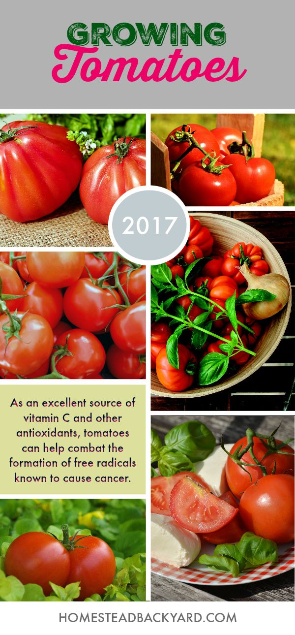 How To Grow Tomatoes From Seeds Growing Tomatoes From Seed