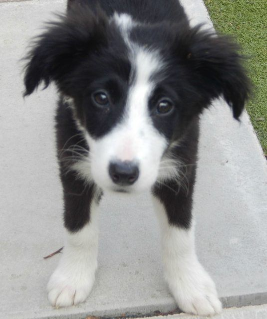Cleo 15 Week Old Female Collie Cross Dog Adoption Collie I Love Dogs