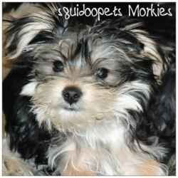 Morkie Puppies Pictures Galore Including Pictures And Slides Of Our