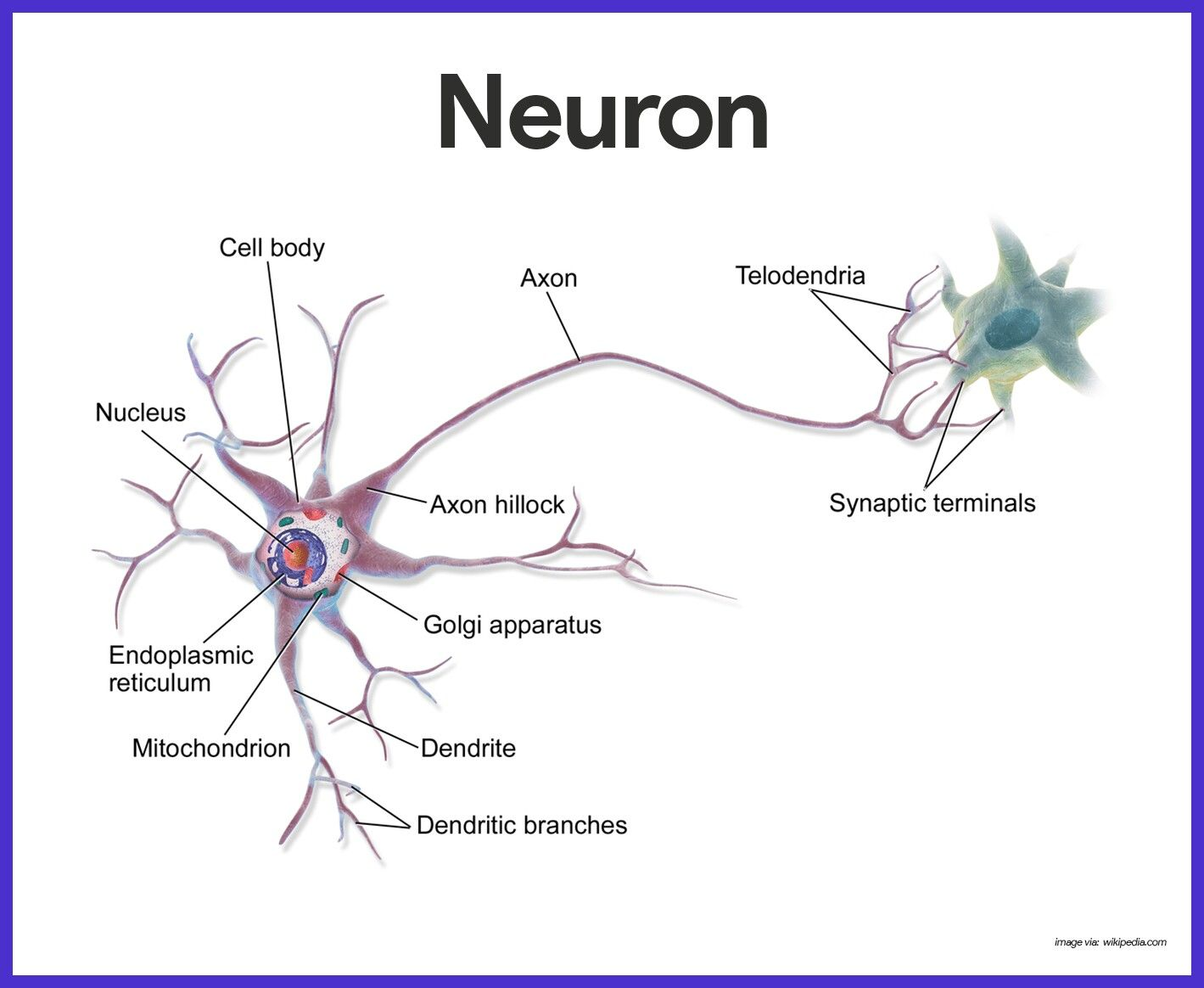 medium resolution of blausen 0657 multipolarneuron multipolar neuron wikipedia the free encyclopedia neurons autonomic nervous system