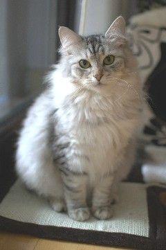 Wild Angara Mit Bildern Sibirische Katze Katzen Wilde Katzen