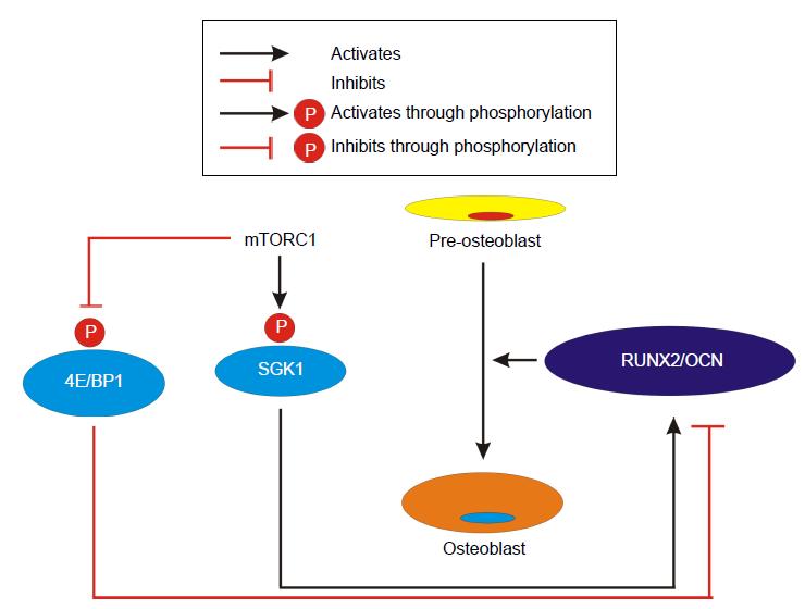 38++ Osteoporosis osteoblast and osteoclast activity information