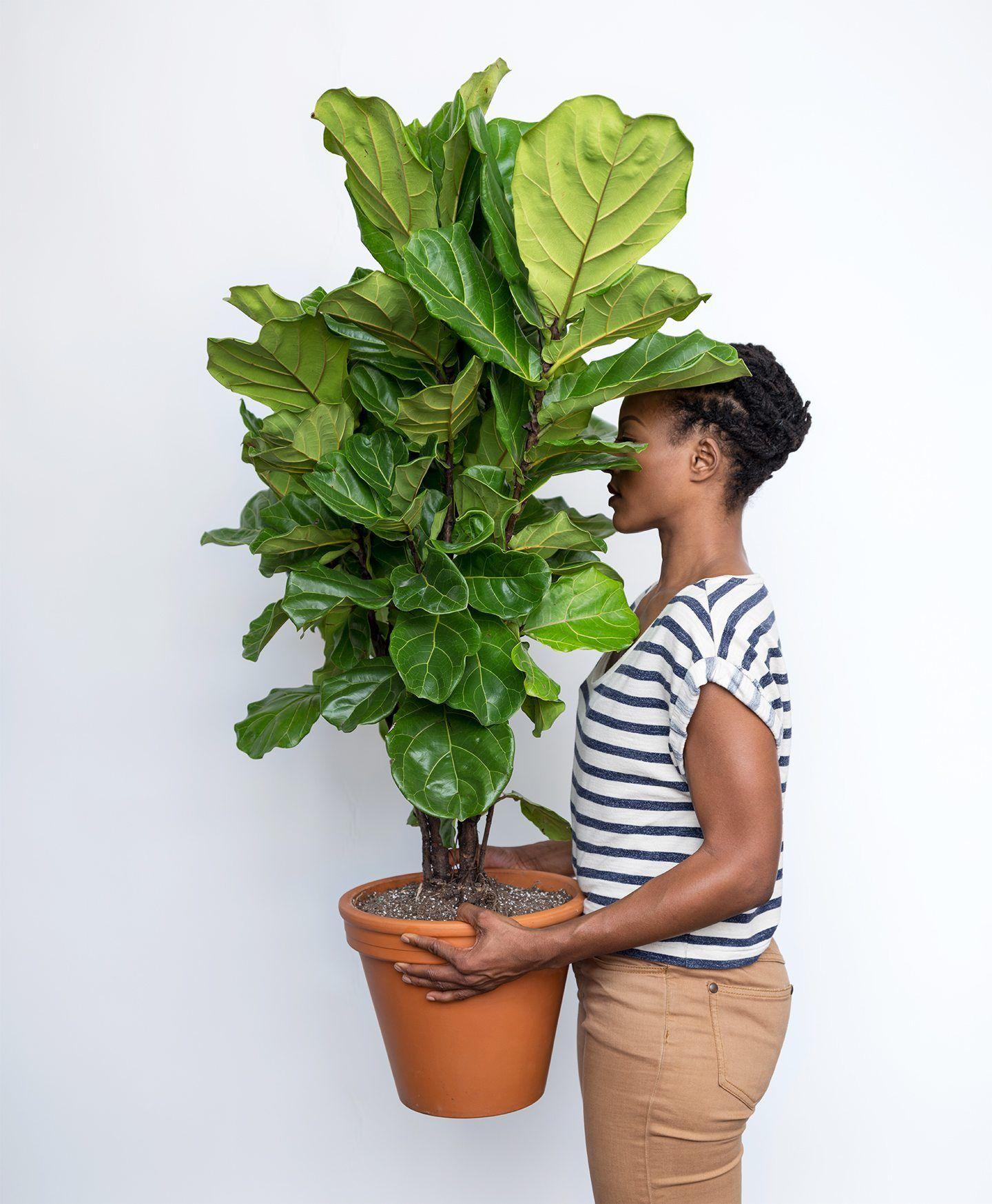 Buy Large, Potted Fiddle Leaf Fig Indoor Plant - Bloomscape