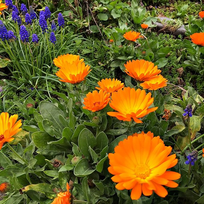 How to Grow and Use Calendula Container herb garden