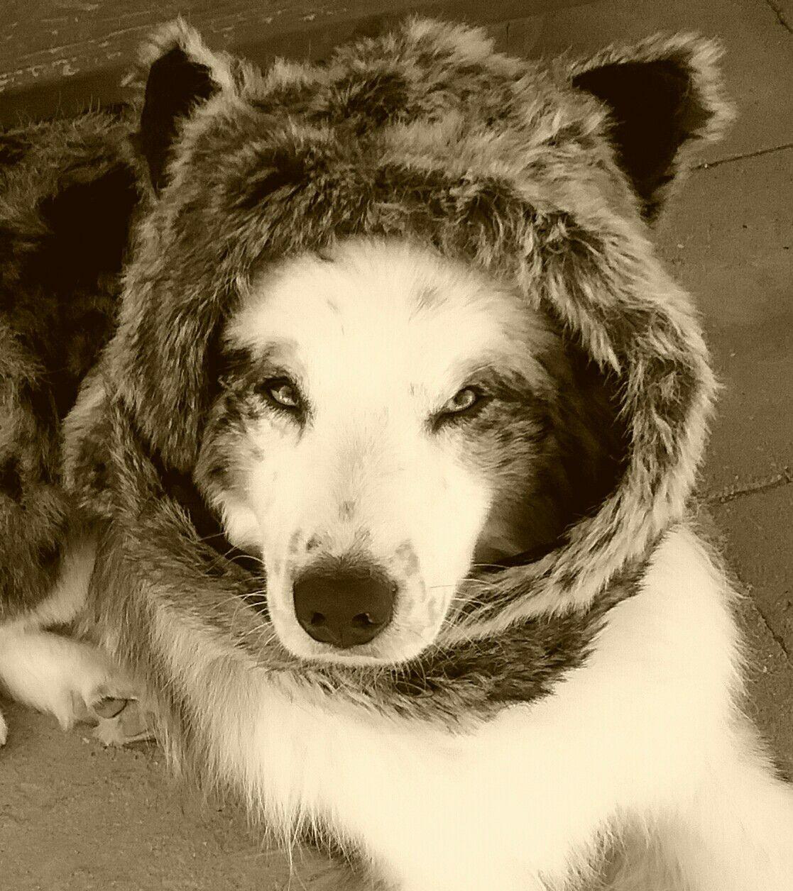 Carman Aussies- My Australian Shepherd Ryder wearing my winter hat. He looks like a bear...heehee.