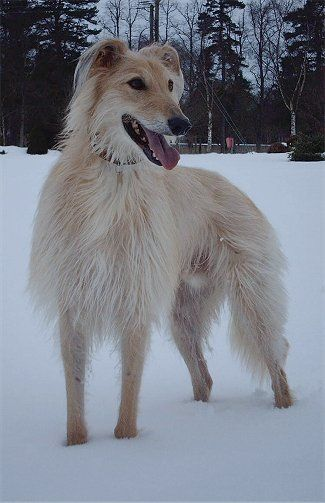 Skip Is Believed To Be A SalukiDeerhound Cross