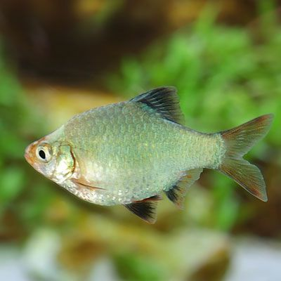 Tiger Barb Bought One Of These With A Color Variation Called Jade No Stripes Unlike Green Barbs Vida Marina Acuarios Marina