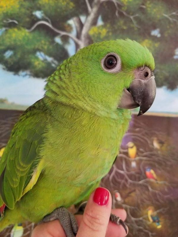 Yellow Napped Amazon (With images) Parrot, Amazon parrot