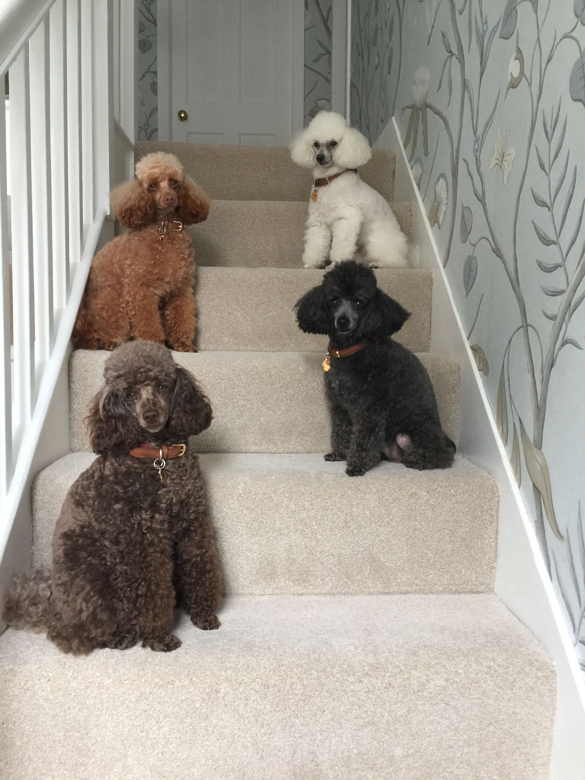 Toy Poodles Penny White Toy Poodle Amber Red Toy Poodle Bramble