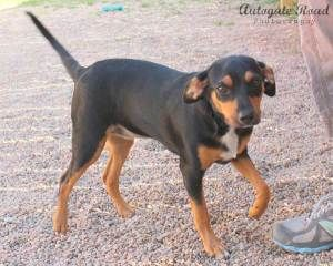 Ellie Mae Is An Adoptable Miniature Pinscher Dog In Hastings Ne