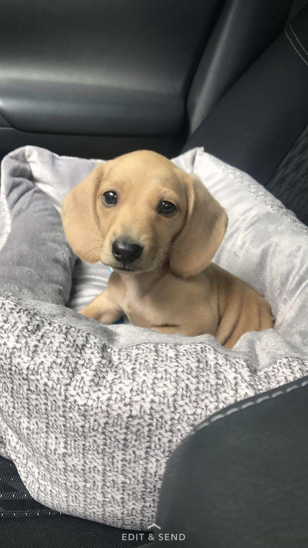 English cream dachshund dachshund Dachshund puppies