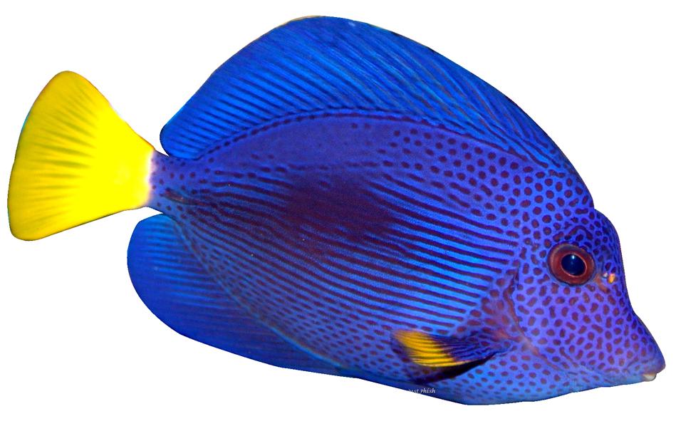 tropical fish clipart 11 fish pinterest tropical fish rh pinterest co uk cute tropical fish clipart colorful tropical fish clipart