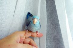 Image Result For Blue Pacific Parrotlet Blue Pacific Parrotlet